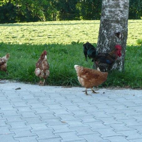 unsere Hühner auf Achse, © im-web.de/ Kultur- und Tourismusamt Miesbach