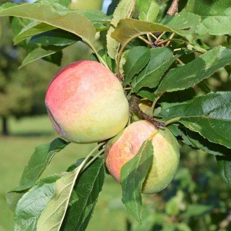 Äpfel von unserem Obstgarten, © im-web.de/ Kultur- und Tourismusamt Miesbach